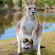 Female kangaroo with a joey in her pouch — Stock Photo