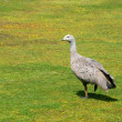 Royalty-Free Stock Photo: Cape Barren Goose (Cereopsis novaehollandiae), Australia