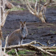 Stock Photo: Red-necked Wallaby, Australia