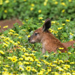 Reddish kangaroo lying on the grass — Stock Photo