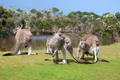 Group of kangaroos in Phillip Island Wildlife Park — Stok fotoğraf