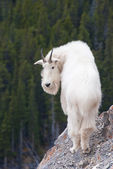 Canadian Rocky Mountain Goat — Stock Photo