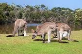 Group of kangaroos in Phillip Island Wildlife Park — Stock Photo