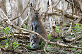 Female red-necked wallaby with a joey in her pouch — Stock Photo