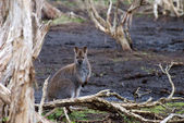 Red-necked Wallaby, Australia — Stock Photo