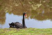 Black swan in the pond — Stock Photo