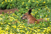 Reddish kangaroo lying on the grass — Stock Photo