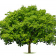 Beautiful deciduous tree on white — Stock Photo