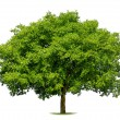 Beautiful deciduous tree on white - Stock Photo