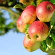 Gorgeous ripe apples on branch — Stock Photo #5530935
