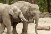 One elephant feeding the other — Stock Photo