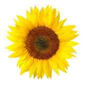 The perfect sunflower on white — Stock Photo