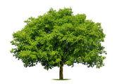 Beautiful deciduous tree on white — Stock Photo