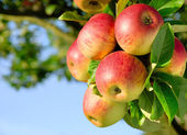 Gorgeous ripe apples on a branch — Stock Photo