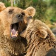 Two bears fighting in their habitat — Stock Photo