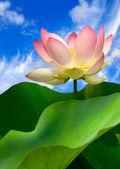 Růžový leknín a krásná obloha — Stock fotografie