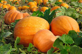 Pumpkins on the field — 图库照片