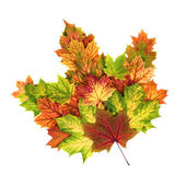 Colorful autumn leaves arranged as a single maple leaf — Stock Photo