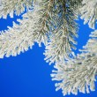 Stock Photo: Winter pine