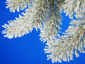 Winter pine — Stock Photo