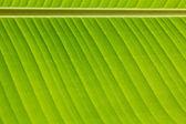 Fresh green banana leaf — Stock Photo