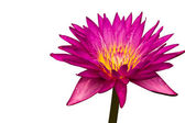 Pink lotus, Water lily — Stock Photo