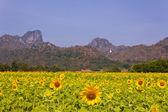 Fält av solrosor med bergen bakgrund i lopburi, thailan — Stock fotografie