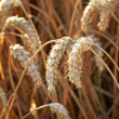 Wheat and harvest background — Stock Photo