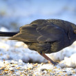 Blackbird in winter — Stock Photo