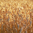 Wheat and harvest background — Photo