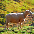 Royalty-Free Stock Photo: Sheep -  New Zealand