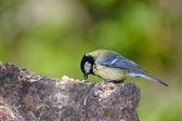 The Blue Tit — Stock Photo