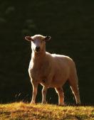 Uma ovelha solitária - nova zelândia — Foto Stock