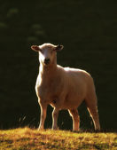 A lonely sheep - New Zealand — Stock Photo