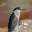 Tropical water bird - small heron — Stock Photo