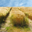 Stock Photo: Crops - time for harvest