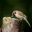 Telephoto of a garden sparrow — Stock Photo