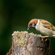 Beautiful garden sparrow — Stock Photo