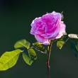 Beautiful roses in my garden — Stock Photo #6543393