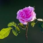 Beautiful roses in my garden — Stock Photo