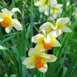 Spring flowers - narcissus — Stock Photo