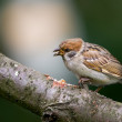 Stock Photo: Beautiful brown garden sparrows - telephoto