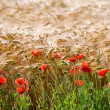 Crops - time for harvest — Stock Photo