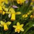 Yellow daffodils — Stock Photo #6543519