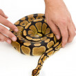 Person handling snake — Stock Photo