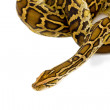 Stock Photo: Python