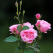 Beautiful garden rose — Stock Photo