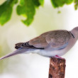 Turtle Dove — Stock Photo #6543833