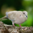 Turtle Dove — Stock Photo