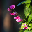 Pinke garden flowers - Stock Photo